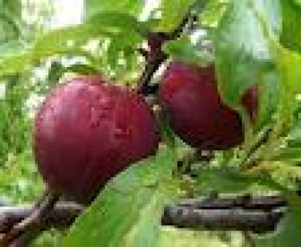 Pastry Wrapped Plums Recipe