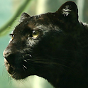 black panther live wallpaper icon