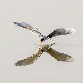river tern by Vijayendra Desai - Animals Birds ( reflection, reflections, mirror, Bird in flight, bif )
