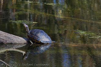 Photo: AUGENblicke: Wasserschildkröte   Immer wieder werden Wasserschildkröte in den freien Gewässern gesichtet – ausgesetzte Tiere,  die ihren Haltern lästig wurden. Dabei schaden die Reptilien der heimischen Natur.  Wie alt ist sie ca. ?