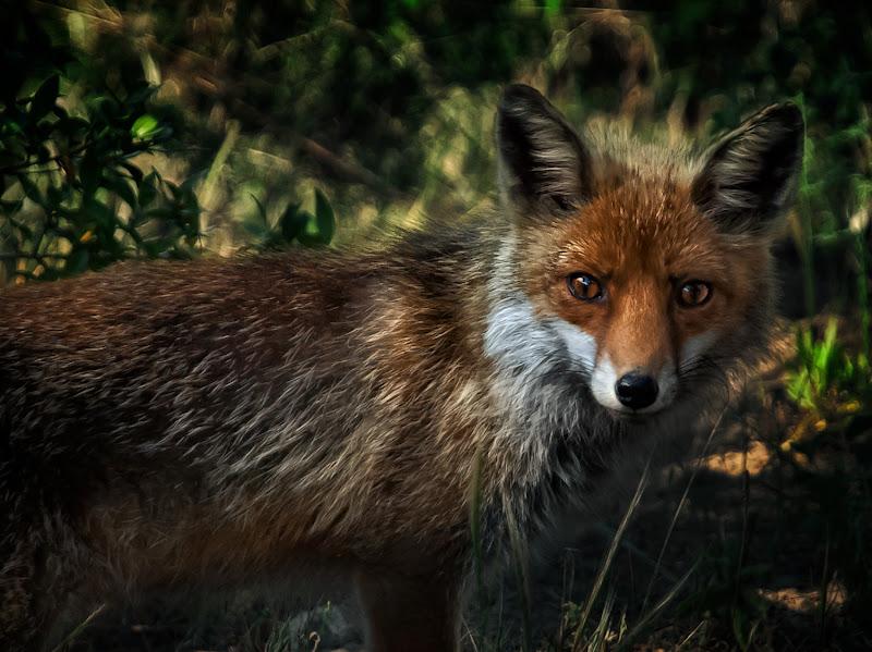 soft fox di bi