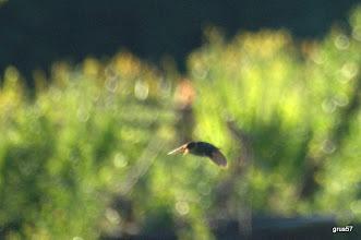 Photo: Камышевка-барсучек. Токовый полет самца. Утро 20 июня. Угра. Городец.