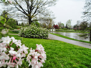 Photo: White lilacs and gazebo by a lake on a rainy day at Cox Arboretum in Dayton, Ohio.