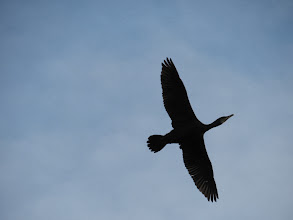 Photo: Priorslee Lake The almost pre-historic shape of an arriving Cormorant overhead. (Ed Wilson)