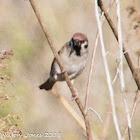Tree Sparrow; Gorrión Montesina