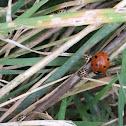 16-spot ladybird