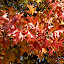 Like fire in the sky. by Peter DiMarco - Nature Up Close Leaves & Grasses ( fall colors, leaves, fall, nature, nature up close )