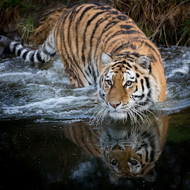 Something in the water... by Tazi Brown - Animals Lions, Tigers & Big Cats ( water, reflection, tiger )
