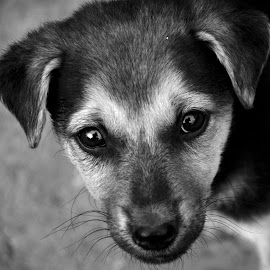 Arjun - Innocent look. by Vinod Rajan - Animals - Dogs Puppies ( face, puppy, innocent, dogs, black, black and white, portrait, dog, puppies, look )