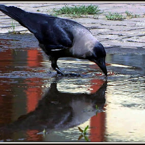 Clever Crow. by Ashish Bikram Thapa - Nature Up Close Other Natural Objects ( water, crow, pebbles, like, pot )