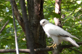 Photo: Partial albino red-tailed hawk.