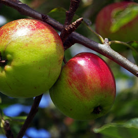 Apples by Ingrid Anderson-Riley - Nature Up Close Other plants