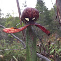 Darlingtonia aka Cobra Lily
