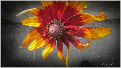 Photo: - Bulgari de soare (Rudbeckia hirtia) - din Turda, de pe Str. Traian, intr-o curte - 2018.06.23