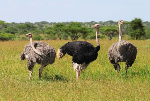Ostrich farming – How this amazing business makes millions for a Malian entrepreneur