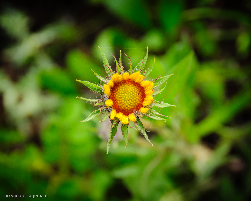 Photo: Wild sunflower in Golden Gate Canyon State Park