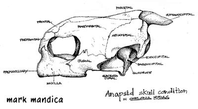 Photo: Chelonia midas | skull