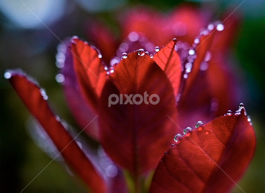 fire & water by Marianna Armata - Nature Up Close Leaves & Grasses ( water, plant, macro, red, drop, leaf, marianna armata )