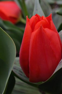 Rosso tulipano di debho_jo