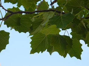 Photo: Hojas de álamo blanco (Populus alba)
