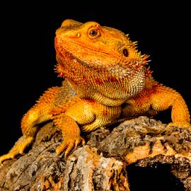 Orange by Garry Chisholm - Animals Reptiles ( sigma, bearded dragon, macro, nature, workshop, reptile, lizard, canon, garry chisholm )