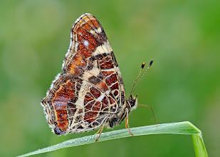 Photo: Araschnia levana, Carte géographique, European Map    http://lepidoptera-butterflies.blogspot.com/