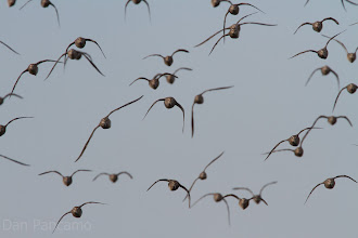 Photo: Short-billed Dowitcher in Flight