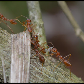 Red Ant in work  by Vinay Ad - Animals Insects & Spiders