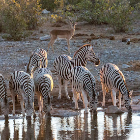 Zebra's at waterhole by Ada Louw - Animals Other