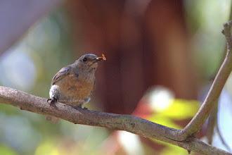 Photo: Western Bluebird - Female