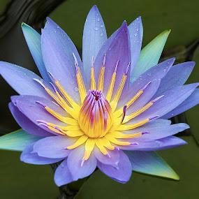 Lily 9987~ by Raphael RaCcoon - Flowers Single Flower