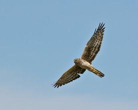 Photo: Northern harrier