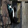 Tree Swallow (Male)