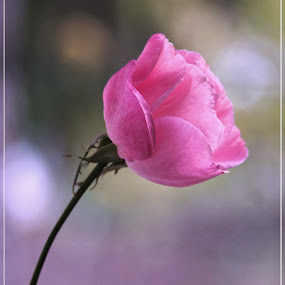 Last Rose by Stoyan Baev - Flowers Single Flower ( close up, pink, nature, plant, rose, autumn, flower )