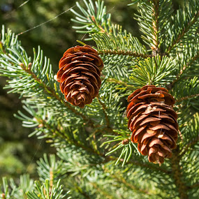 Close up of Two pine cones. by Judy Soper - Nature Up Close Trees & Bushes ( soper, tree, ohio, fremont, fall, pine cones, summer, cone, pine, flowers, landscapes, evergreen, spring )