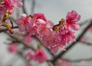 Photo: Sakura's Voice