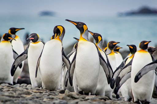 View king penguins on your Ponant cruise from Argentina to Antarctica.