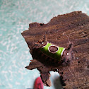 Saddleback Caterpillar Moth