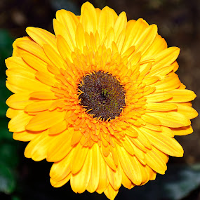 Up close with a Barberton daisy by Graeme Wilson - Nature Up Close Flowers - 2011-2013 ( barberton daisy, spring flower, nature, daisy, flower )