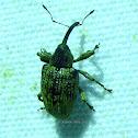 True Weevil or Snout Beetle