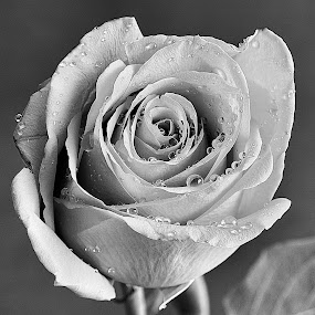 by Trent Eades - Black & White Flowers & Plants ( black and white rose, single rose, rose, single flower, black and white, flower )