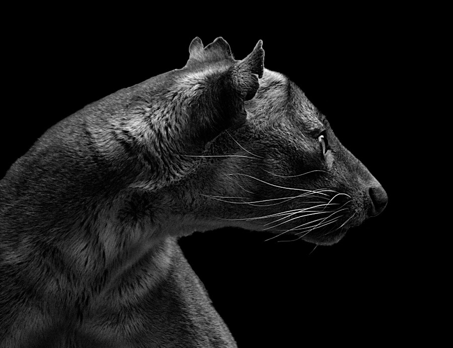 Fossa II B&W by Shawn Thomas - Black & White Animals