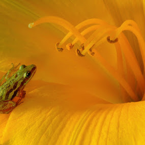 by Tom Vogt - Animals Amphibians ( frog, yellow, flower,  )