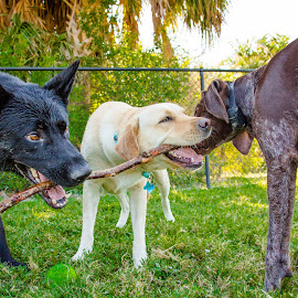 Threes A Crowd by Meaghan Browning - Animals - Dogs Portraits ( stick, dogs playing, pointer, labrador, german shepherd )