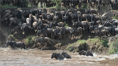 Photo: Wildebeests Crossing at the Mara River RJB Tanzania, Africa Tours Nikon D800 ,Nikkor 200-400mm f/4G ED-IF AF-S VR 1/250s f/9.0 at 400.0mm