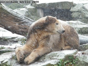Photo: Ein zufriedener junger Eisbaer Knut :-)