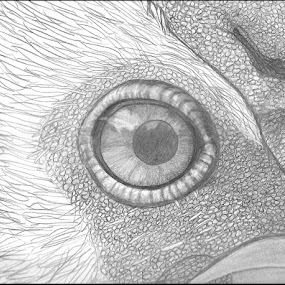 Mr. Peepers' Peeper by Colleen Flynn - Drawing All Drawing ( bird, chicken, rooster eye closeup, rooster closeup, bird eye closeup, rooster, eye closeup, chicken eye closeup,  )