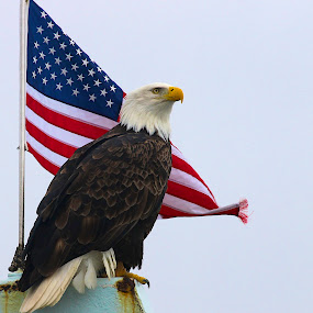 Vigilant  by Capt Jack - Public Holidays July 4th ( amazing, fishing alaska, flight, wow, eagle, alaska, raptor, bering sea, bald eagles, birds, patriot,  )