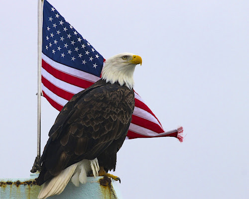 Vigilant  by Capt Jack - Public Holidays July 4th ( amazing, fishing alaska, flight, wow, eagle, alaska, raptor, bering sea, bald eagles, birds, patriot,  )