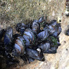 California mussels